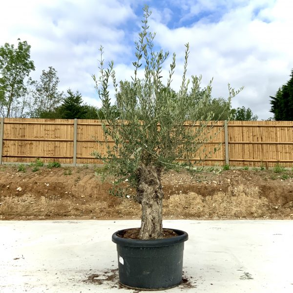 """C381 Individual Gnarled Olive Tree XXL """"Summer Deal"""" - IMG 8598 scaled"""
