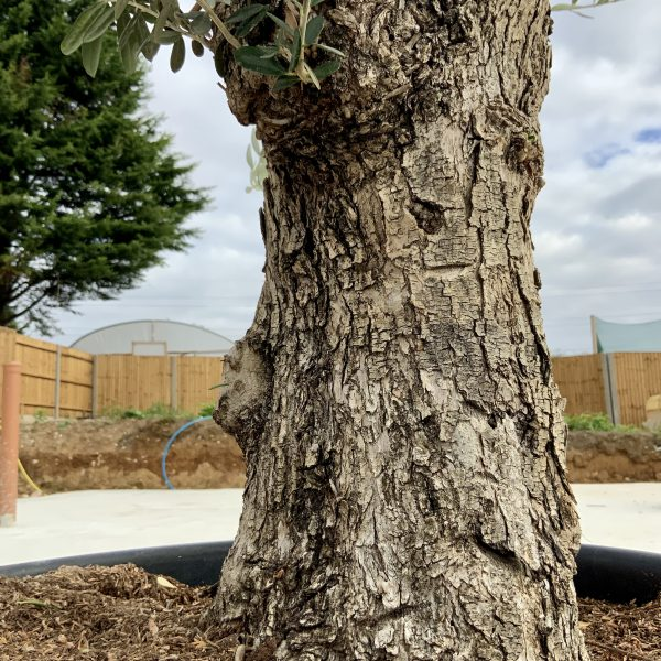 """C381 Individual Gnarled Olive Tree XXL """"Summer Deal"""" - IMG 8599 scaled"""