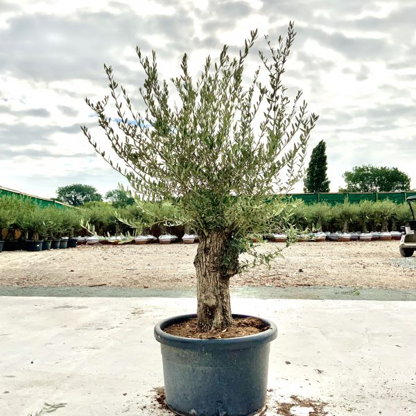 """C381 Individual Gnarled Olive Tree XXL """"Summer Deal"""" - IMG 8600 scaled"""