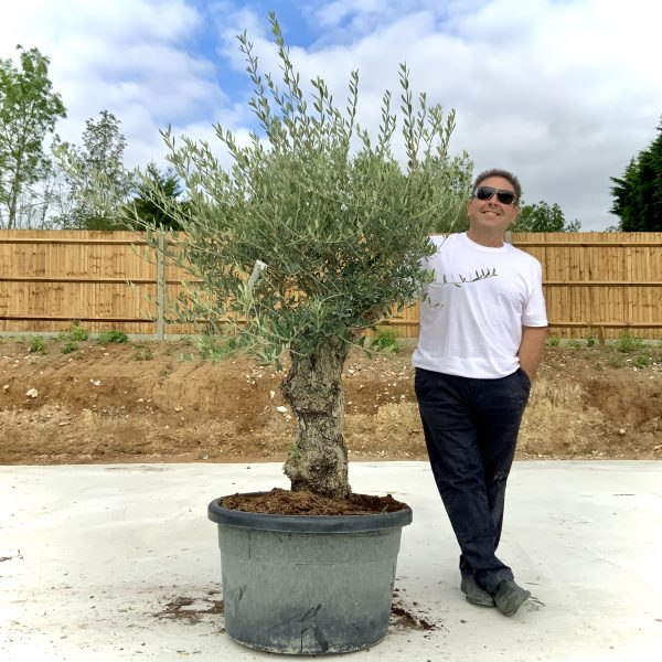 """C380 Individual Gnarled Olive Tree XXL """"Summer Deal"""" - IMG 8604 scaled"""
