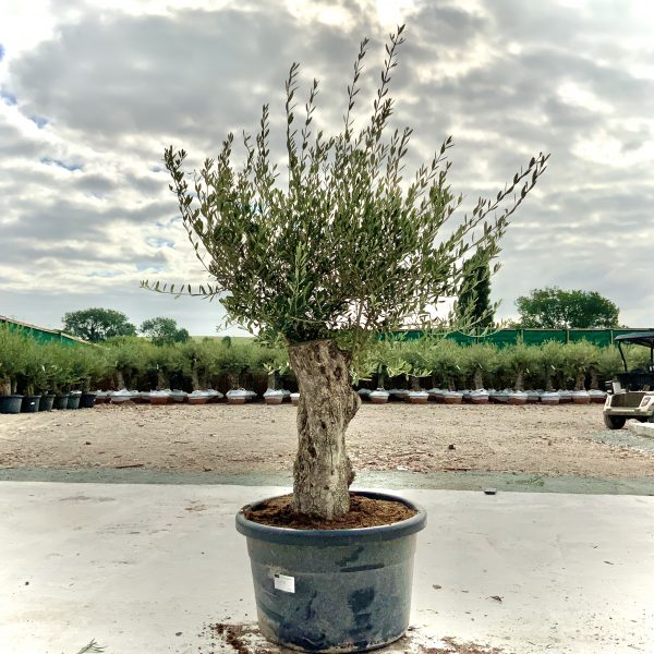 """C380 Individual Gnarled Olive Tree XXL """"Summer Deal"""" - IMG 8607 scaled"""