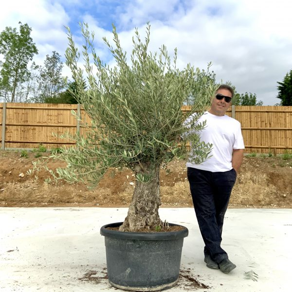 """C379 Individual Gnarled Olive Tree XXL """"Summer Deal"""" - IMG 8610 scaled"""