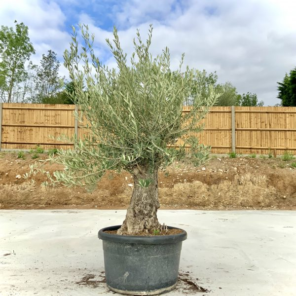 """C379 Individual Gnarled Olive Tree XXL """"Summer Deal"""" - IMG 8611 scaled"""
