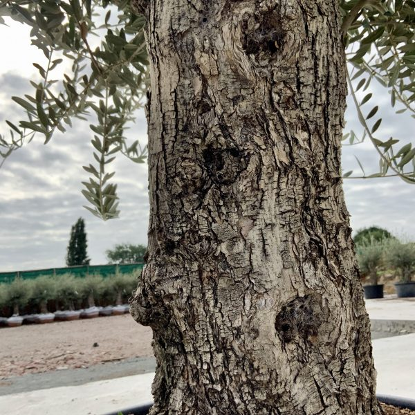 """C379 Individual Gnarled Olive Tree XXL """"Summer Deal"""" - IMG 8612 scaled"""