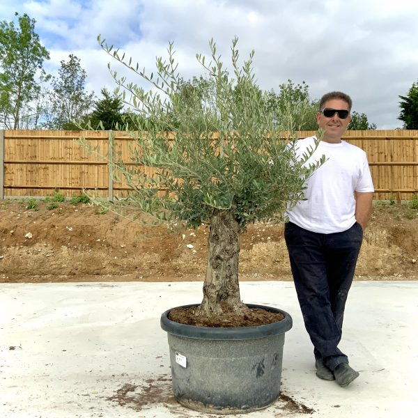 """C377 Individual Gnarled Olive Tree XXL """"Summer Deal"""" - IMG 8624 scaled"""