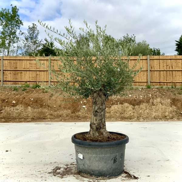 """C377 Individual Gnarled Olive Tree XXL """"Summer Deal"""" - IMG 8625 scaled"""