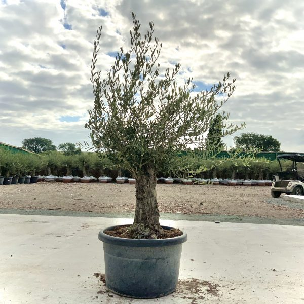 """C377 Individual Gnarled Olive Tree XXL """"Summer Deal"""" - IMG 8627 scaled"""