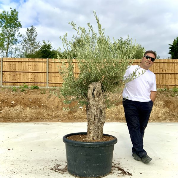 """C376 Individual Gnarled Olive Tree XXL """"Summer Deal"""" - IMG 8630 1 scaled"""