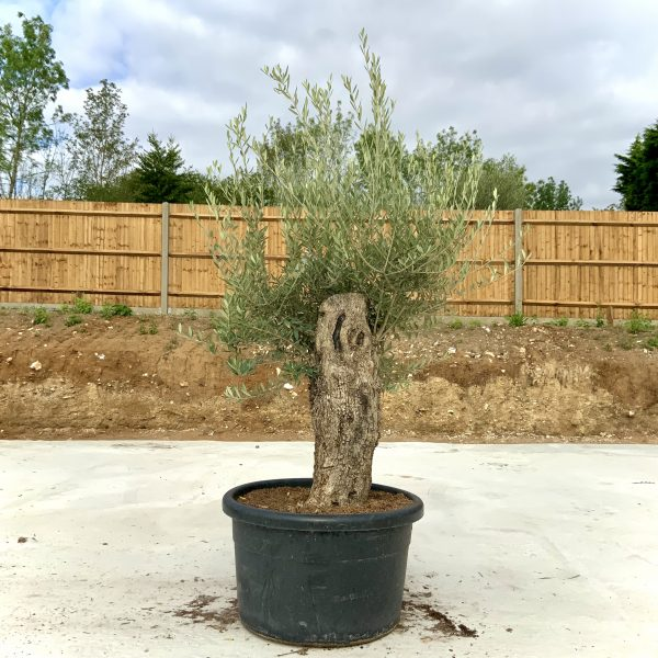 """C376 Individual Gnarled Olive Tree XXL """"Summer Deal"""" - IMG 8631 1 scaled"""