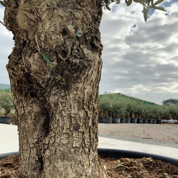 """C376 Individual Gnarled Olive Tree XXL """"Summer Deal"""" - IMG 8632 1 scaled"""