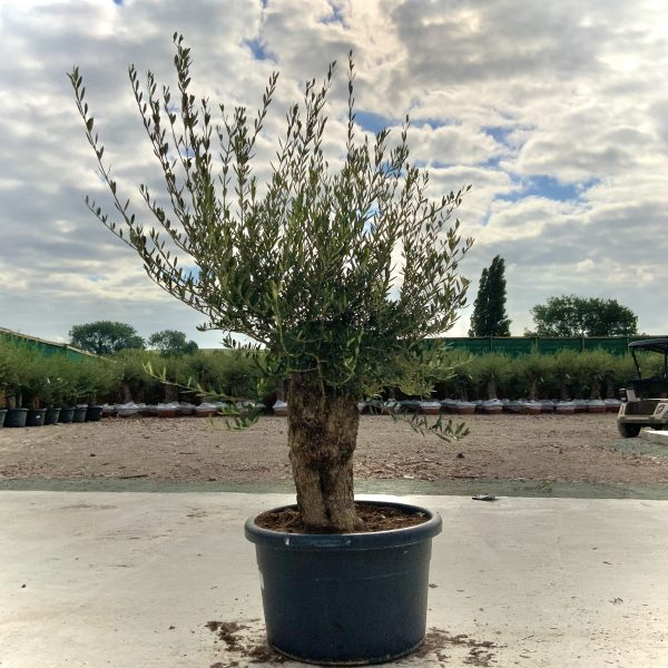 """C376 Individual Gnarled Olive Tree XXL """"Summer Deal"""" - IMG 8633 1 scaled"""