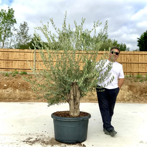 """C403 Individual Gnarled Olive Tree XXL """"Summer Deal"""" - IMG 8636 scaled"""