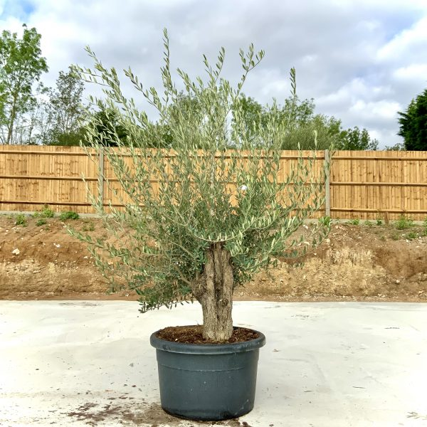 """C403 Individual Gnarled Olive Tree XXL """"Summer Deal"""" - IMG 8637 scaled"""