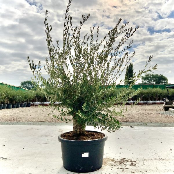"""C403 Individual Gnarled Olive Tree XXL """"Summer Deal"""" - IMG 8639 scaled"""