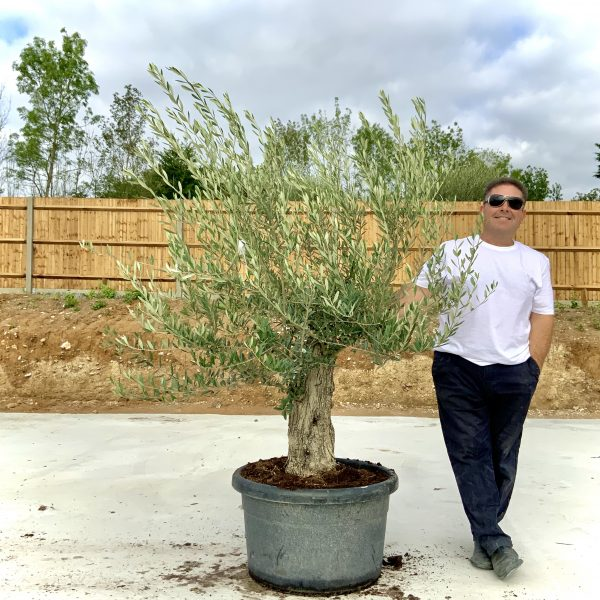 """C402 Individual Gnarled Olive Tree XXL """"Summer Deal"""" - IMG 8642 scaled"""