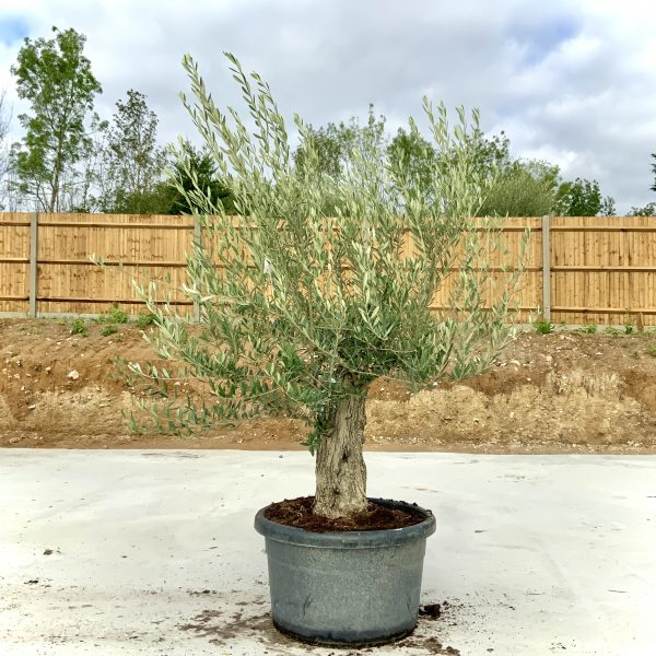 """C402 Individual Gnarled Olive Tree XXL """"Summer Deal"""" - IMG 8643 scaled"""