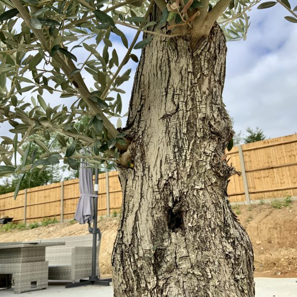 """C402 Individual Gnarled Olive Tree XXL """"Summer Deal"""" - IMG 8644 scaled"""
