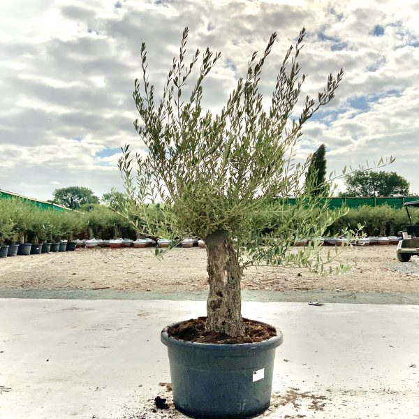"""C402 Individual Gnarled Olive Tree XXL """"Summer Deal"""" - IMG 8645 scaled"""