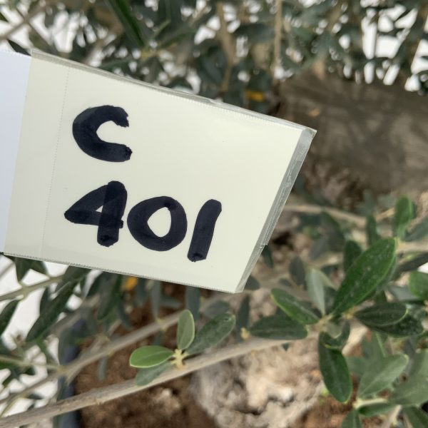 """C401 Individual Gnarled Olive Tree XXL """"Summer Deal"""" - IMG 8647 scaled"""
