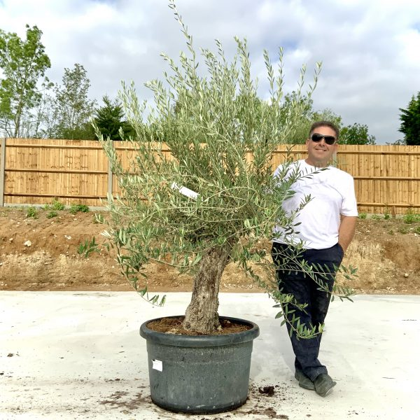 """C401 Individual Gnarled Olive Tree XXL """"Summer Deal"""" - IMG 8648 scaled"""