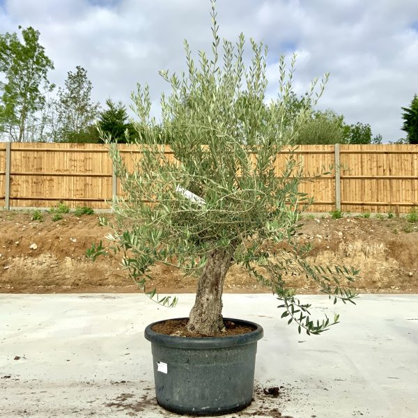 """C401 Individual Gnarled Olive Tree XXL """"Summer Deal"""" - IMG 8649 scaled"""