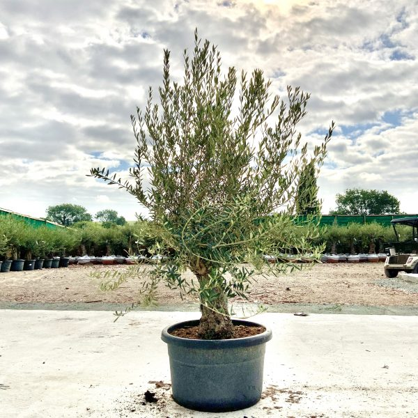 """C401 Individual Gnarled Olive Tree XXL """"Summer Deal"""" - IMG 8651 scaled"""