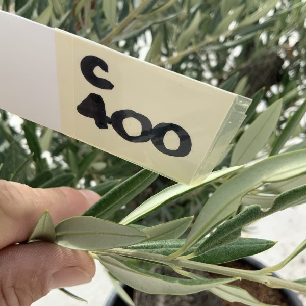 """C400 Individual Gnarled Olive Tree XXL """"Summer Deal"""" - IMG 8654 scaled"""