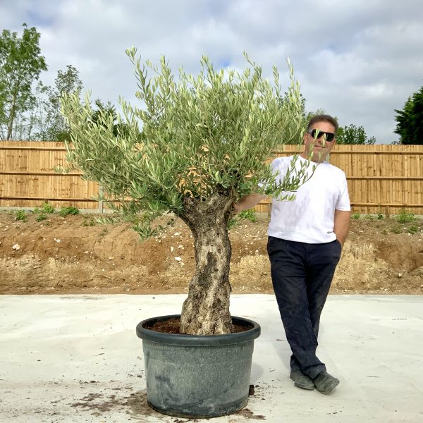 """C400 Individual Gnarled Olive Tree XXL """"Summer Deal"""" - IMG 8655 scaled"""