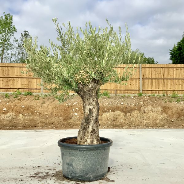 """C400 Individual Gnarled Olive Tree XXL """"Summer Deal"""" - IMG 8656 scaled"""