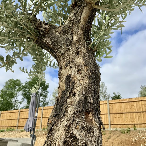 """C400 Individual Gnarled Olive Tree XXL """"Summer Deal"""" - IMG 8657 scaled"""