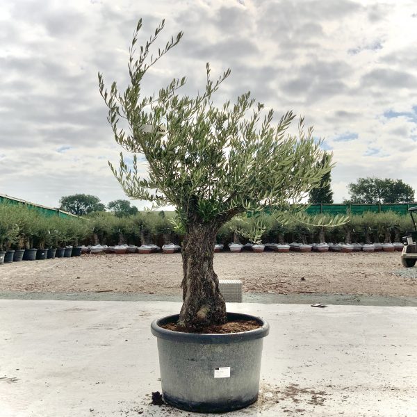 """C400 Individual Gnarled Olive Tree XXL """"Summer Deal"""" - IMG 8658 scaled"""