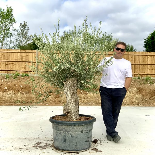 """C399 Individual Gnarled Olive Tree XXL """"Summer Deal"""" - IMG 8662 scaled"""