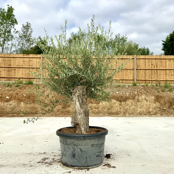 """C399 Individual Gnarled Olive Tree XXL """"Summer Deal"""" - IMG 8663 scaled"""
