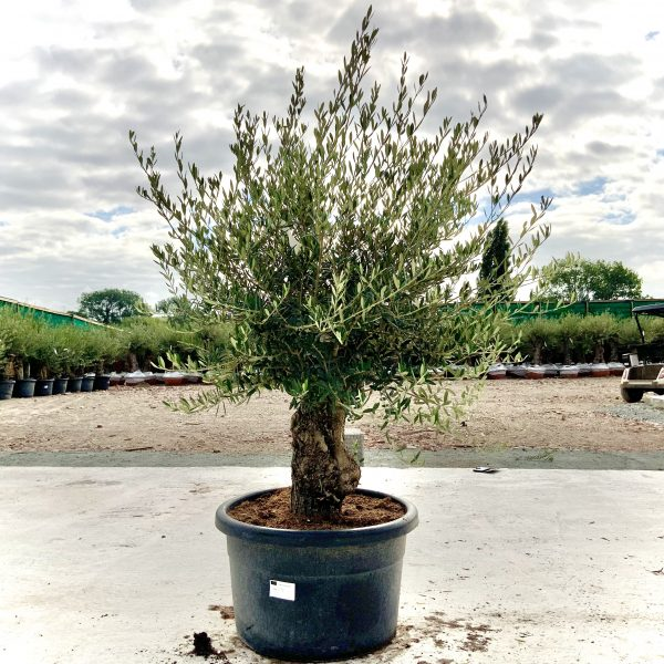 """C399 Individual Gnarled Olive Tree XXL """"Summer Deal"""" - IMG 8665 scaled"""