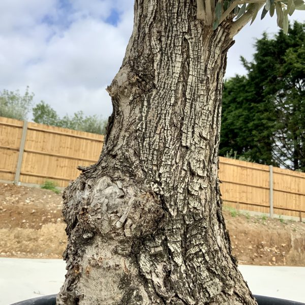 """C398 Individual Gnarled Olive Tree XXL """"Summer Deal"""" - IMG 8670 scaled"""