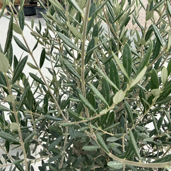 """C398 Individual Gnarled Olive Tree XXL """"Summer Deal"""" - IMG 8672 scaled"""