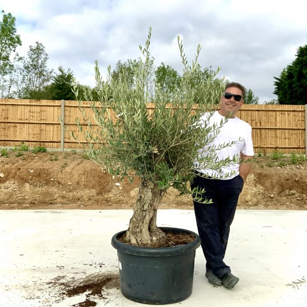 """C397 Individual Gnarled Olive Tree XXL """"Summer Deal"""" - IMG 8674 scaled"""
