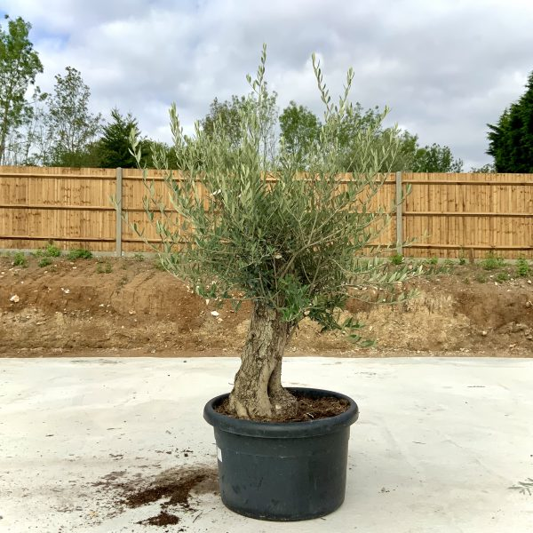 """C397 Individual Gnarled Olive Tree XXL """"Summer Deal"""" - IMG 8675 scaled"""