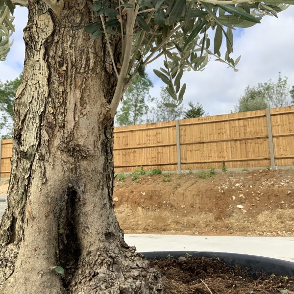 """C397 Individual Gnarled Olive Tree XXL """"Summer Deal"""" - IMG 8676 scaled"""