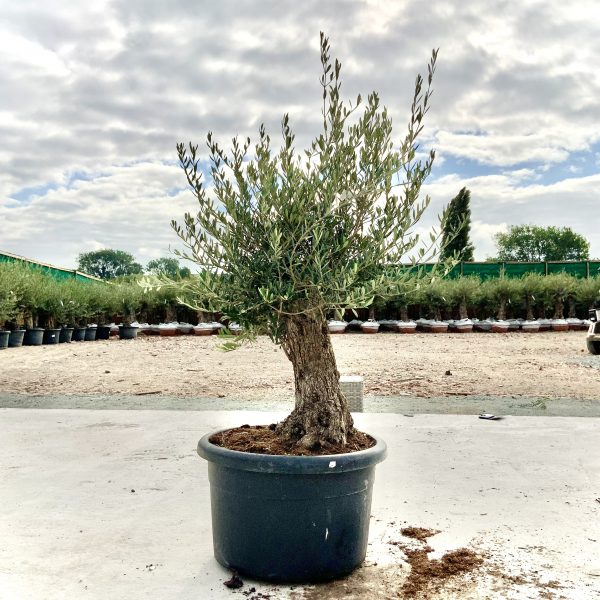 """C397 Individual Gnarled Olive Tree XXL """"Summer Deal"""" - IMG 8677 scaled"""