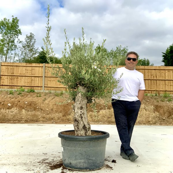 """C396 Individual Gnarled Olive Tree XXL """"Summer Deal"""" - IMG 8681 scaled"""