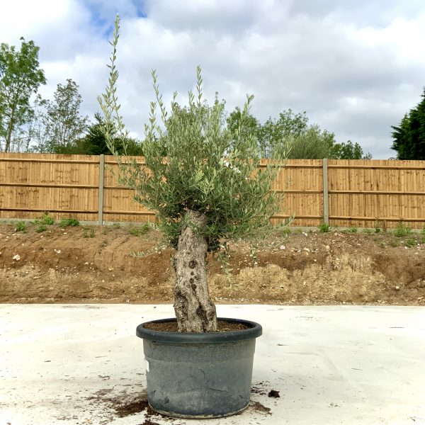 """C396 Individual Gnarled Olive Tree XXL """"Summer Deal"""" - IMG 8682 scaled"""