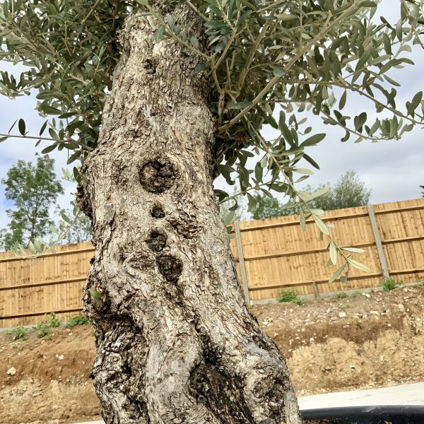 """C396 Individual Gnarled Olive Tree XXL """"Summer Deal"""" - IMG 8683 scaled"""