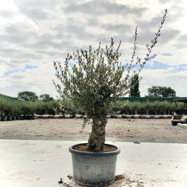 """C396 Individual Gnarled Olive Tree XXL """"Summer Deal"""" - IMG 8684 scaled"""