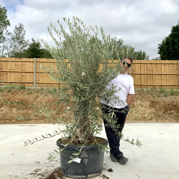 """C395 Individual Gnarled Olive Tree XXL """"Summer Deal"""" - IMG 8687 scaled"""