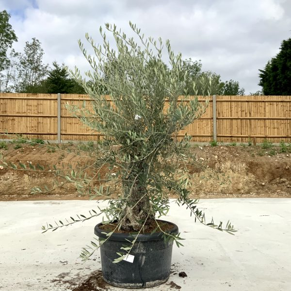 """C395 Individual Gnarled Olive Tree XXL """"Summer Deal"""" - IMG 8688 scaled"""
