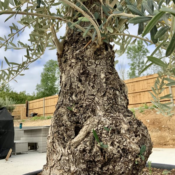 """C395 Individual Gnarled Olive Tree XXL """"Summer Deal"""" - IMG 8689 scaled"""