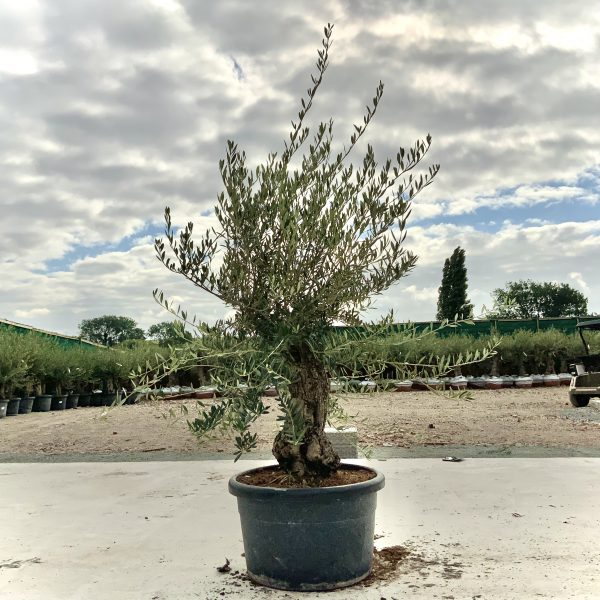 """C395 Individual Gnarled Olive Tree XXL """"Summer Deal"""" - IMG 8690 scaled"""