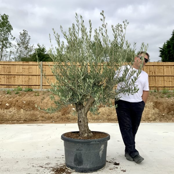 """C390 Individual Gnarled Olive Tree XXL """"Summer Deal"""" - IMG 8717 scaled"""