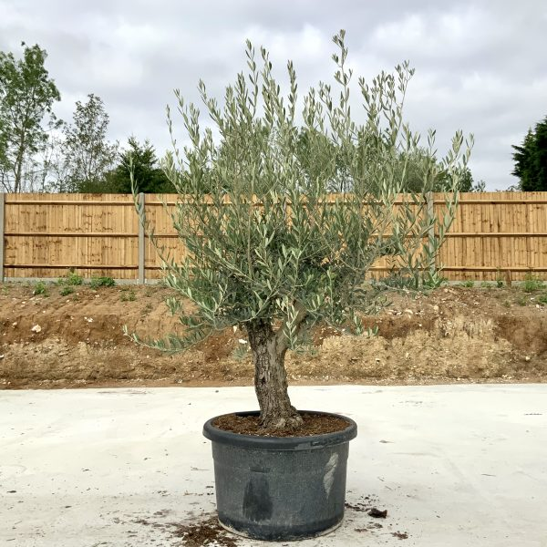 """C390 Individual Gnarled Olive Tree XXL """"Summer Deal"""" - IMG 8718 scaled"""